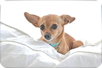 Chihuahua Mix Dog for adoption in Chattanooga, Tennessee - Piccolo