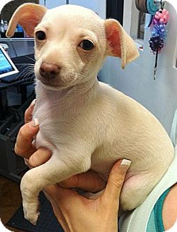Dachshund/Chihuahua Mix Puppy for adoption in Encino, California - May