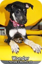 Shepherd (Unknown Type)/Jindo Mix Puppy for adoption in Encino, California - Wonder - Taiwan