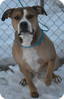 Pit Bull Terrier Mix Dog for adoption in Fruit Heights, Utah - Ohio