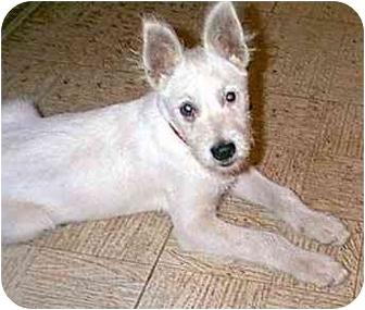 Terrier (Unknown Type, Medium)/Westie, West Highland White Terrier Mix Puppy for adoption in dewey, Arizona - SCOTTY
