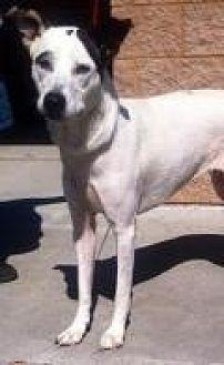 Pointer/Labrador Retriever Mix Dog for adoption in Mount Pleasant, South Carolina - Jasmine