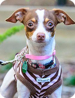Chihuahua Mix Dog for adoption in Santa Monica, California - Coco