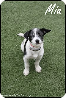 Terrier (Unknown Type, Small) Mix Puppy for adoption in Rockwall, Texas - Mia