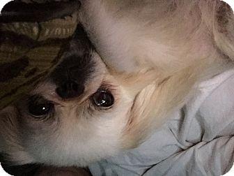 Pekingese Mix Dog for adoption in Palatine, Illinois - Bridgette
