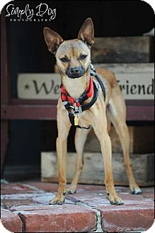 Chihuahua Mix Dog for adoption in Dublin, Ohio - Baxter