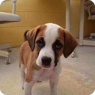 Hound (Unknown Type) Mix Puppy for adoption in Burlington, New Jersey - Noel