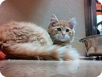 Domestic Mediumhair Kitten for adoption in Covington, Kentucky - Rooster