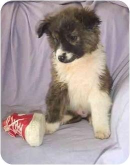 Border Collie/English Sheepdog Mix Puppy for adoption in McArthur, Ohio - HARMONY