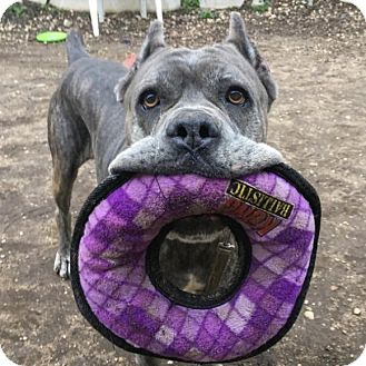 Cane Corso Dog for adoption in Huntington, New York - Spartacus