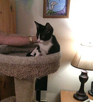 Domestic Shorthair Cat for adoption in Fayetteville, Tennessee - Dante