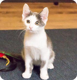 Domestic Shorthair Kitten for adoption in Chicago, Illinois - Possum