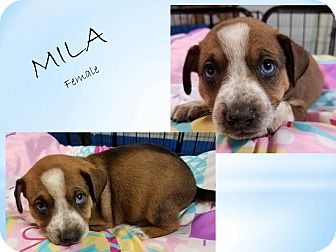 Shepherd (Unknown Type)/Dachshund Mix Puppy for adoption in Laingsburg, Michigan - 17-62 Mila