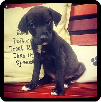 Labrador Retriever Mix Puppy for adoption in Grand Bay, Alabama - Aleah