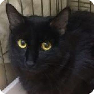 Domestic Shorthair Cat for adoption in Medford, Massachusetts - Bear