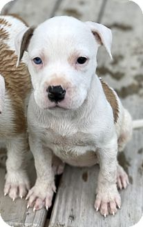 American Bulldog Mix Puppy for adoption in Haggerstown, Maryland - Hula