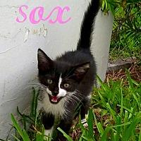 Adopt A Pet :: Sox - Hialeah, FL