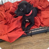 Adopt A Pet :: BELLA-ADOPTED - East Windsor, CT
