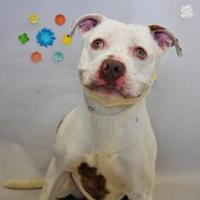 American Pit Bull Terrier Mix Dog for adoption in Wantagh, New York - Marx