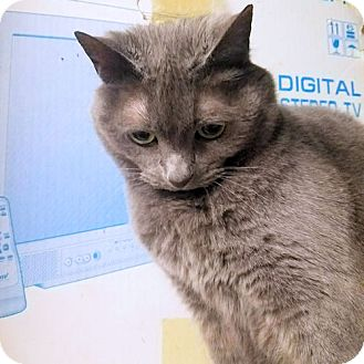 Domestic Shorthair Cat for adoption in Rutherfordton, North Carolina - Smokey & Sophie