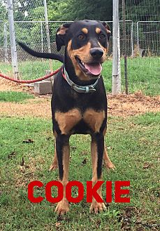 Black and Tan Coonhound Mix Dog for adoption in East Hartford, Connecticut - Cookie 2 in CT