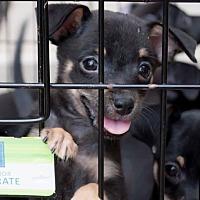 Adopt A Pet :: Pax - San Jose, CA