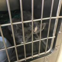 Adopt A Pet :: Ringo - Santa Paula, CA
