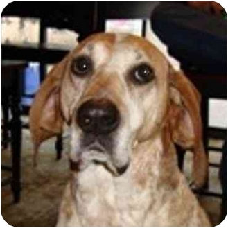 English (Redtick) Coonhound/Coonhound Mix Dog for adoption in Seattle c/o Kingston 98346/ Washington State, Washington - Gypsy Hound