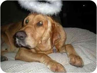 Labrador Retriever/Bloodhound Mix Dog for adoption in San Diego, California - CHARLEE