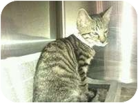 Domestic Shorthair Kitten for adoption in Tampa, Florida - Asia