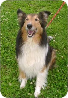 Sheltie, Shetland Sheepdog Mix Dog for adoption in Creston, British Columbia - Darby