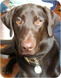 Labrador Retriever Dog for adoption in Spencer, Ohio - Sienna