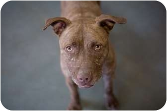 Pit Bull Terrier Mix Dog for adoption in Santa Fe, New Mexico - Blair