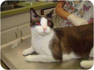 Siamese Cat for adoption in Baltimore, Maryland - Cyprus
