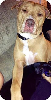 American Pit Bull Terrier/Mastiff Mix Dog for adoption in grants pass, Oregon - Melo