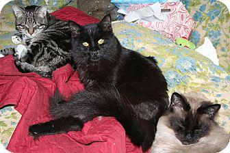 Domestic Longhair Cat for adoption in Santa Rosa, California - Dandylion