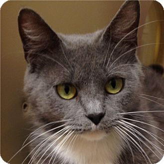 Domestic Shorthair Cat for adoption in Weatherford, Texas - Sweet Pea