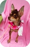 Chihuahua Dog for adoption in Lehigh Acres, Florida - Sweetie