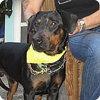 Adopt A Pet :: Calvin - Pembroke Pines, FL