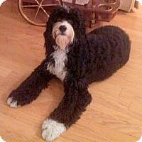 Adopt A Pet :: FL - Bentley - Boca Raton, FL