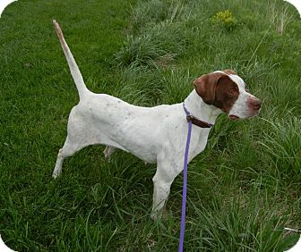 English Pointer Mix Dog for adoption in Guelph, Ontario - Luna Needs foster
