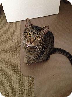 Domestic Shorthair Cat for adoption in Arlington/Ft Worth, Texas - Leah