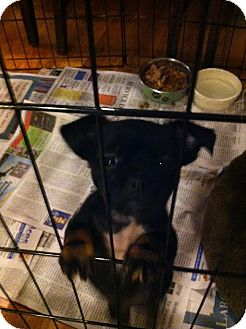 Chihuahua Mix Puppy for adoption in Albany, New York - Squirt