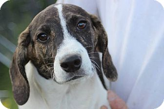 Beagle/Plott Hound Mix Puppy for adoption in Baltimore, Maryland - Winston