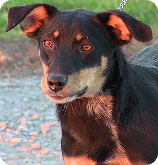 Australian Cattle Dog Mix Puppy for adoption in Texico, Illinois - Rylie