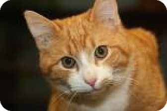 Domestic Shorthair Cat for adoption in Mt. Pleasant, Michigan - Navy