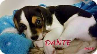 Beagle Mix Puppy for adoption in Ventnor City, New Jersey - DANTE