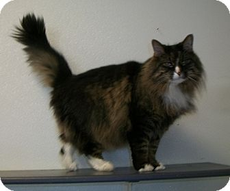 Maine Coon Cat for adoption in Martinsville, Indiana - Schmoo