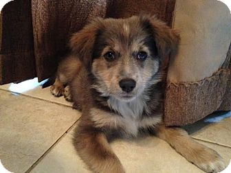 Australian Shepherd Mix Puppy for adoption in Naperville, Illinois - Mishka