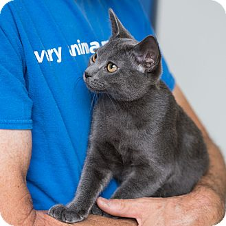 Domestic Shorthair Kitten for adoption in Houston, Texas - Dolce